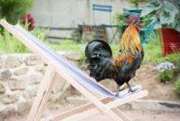 Un coq dans le transat…